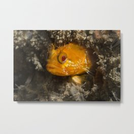 Yellowfin Fringehead Metal Print