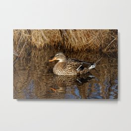 Mallard Duck Reflecting Metal Print