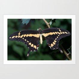 Butterfly wings open Art Print