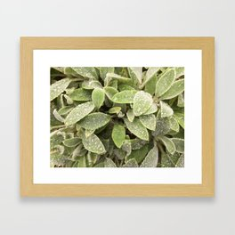 Lambs ears plants after rain Framed Art Print
