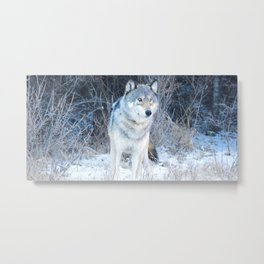 Grey Wolf in the Canadian Rocky Mountains Metal Print