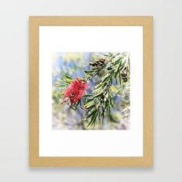 Beautiful Red Bottle Brush flower Framed Art Print