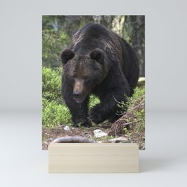 King of forest, male brown bear approaching Mini Art Print