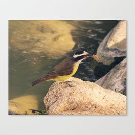 Lakeside Great Kiskadee Canvas Print