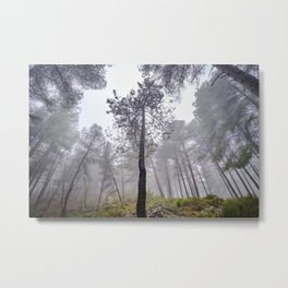 Tall Laricio pine forest. Into the foggy woods. Metal Print