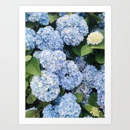 New England Summer Purple Hydrangeas Art Print