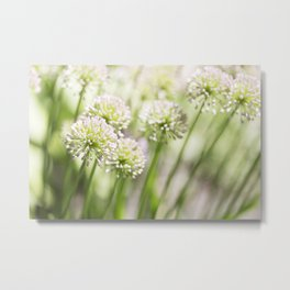 Allium - Onion Flowers 7 Metal Print