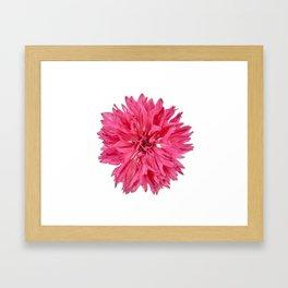 Pink Cornflower Framed Art Print