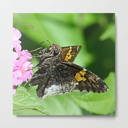 moth feeding Metal Print