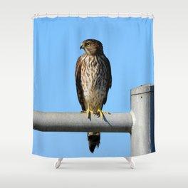 Juvenile Cooper's Hawk Shower Curtain