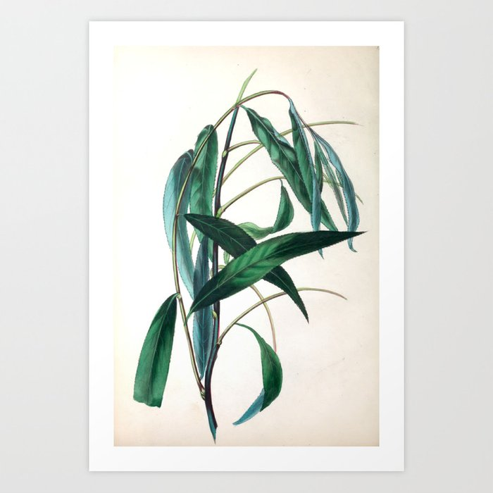 """The Weeping Willow, from """"The Spirit of the Woods,"""" 1849 (benefiting the Arbor Day Foundation) Art Print"""