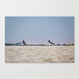 Oyster Catchers Canvas Print