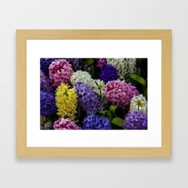 Colorful Hyacinth Blossoms Growing Together in a Garden in Amsterdam, Netherlands Framed Art Print