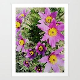 pasque-flower Art Print