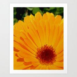 Orange Pot Marigold Art Print