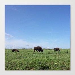 Buffalo Grazing trio Canvas Print