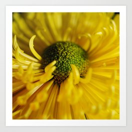 Yellow Flower With Curling Petals Art Print