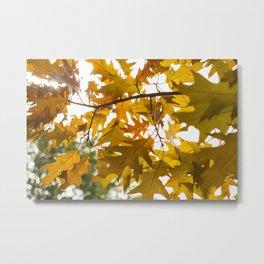 Golden oak leaves Metal Print