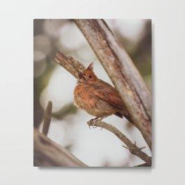Baby Cardinal Metal Print
