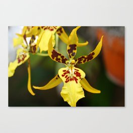 Yellow Miltonia III Canvas Print