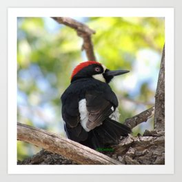 Acorn Woodpecker in Malibu Art Print