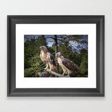 Pair of Red-tail Hawks Framed Art Print