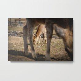 Deer Mother and son in Nara, Japan Metal Print