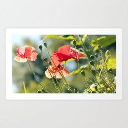 Backlit poppies Art Print