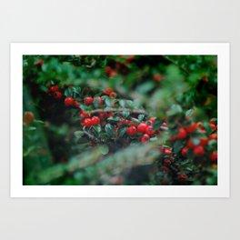Cotoneaster Berries Art Print