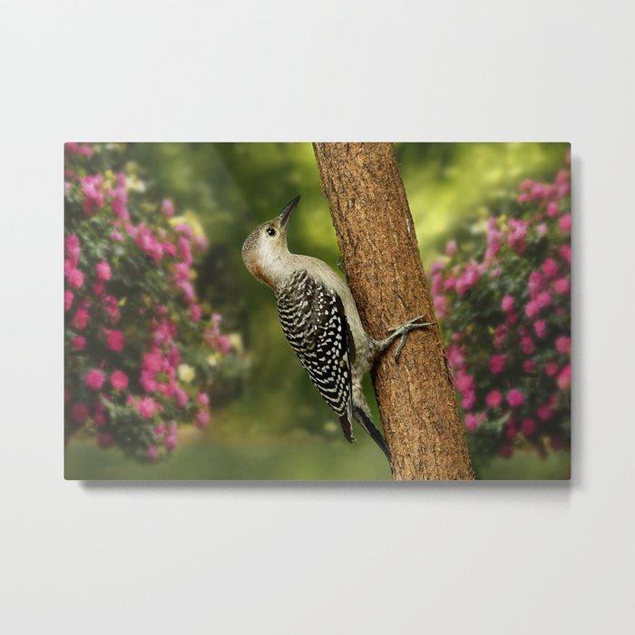 Juvenile Red Bellied Woodpecker Metal Print