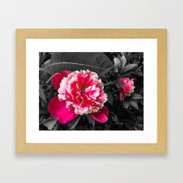 Paeony pink black and white Framed Art Print