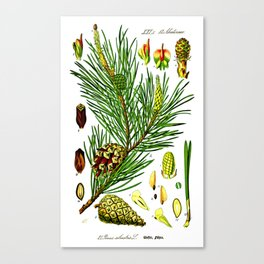 Pinus sylvestris Canvas Print