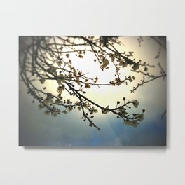 plum bloosoms  Metal Print
