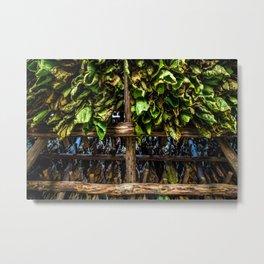Tobacco drying in Cuba Metal Print