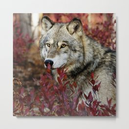 Wolf in red foliage Metal Print
