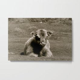 Scottish Highland Calf Metal Print