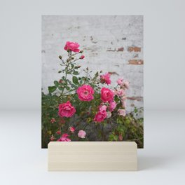 pink roses and old wall Mini Art Print