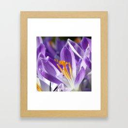 Violet spring crocus Framed Art Print