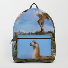 A Guanaco, in Patagonia, Chile. Backpack