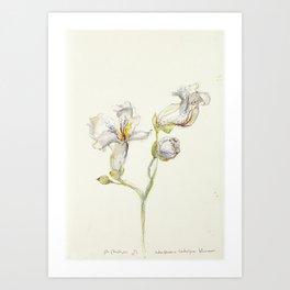 Catalpa Blossom 3 Art Print