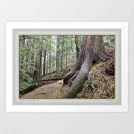 BIG CEDAR ALONG MOUNTAIN LAKE TRAIL Art Print