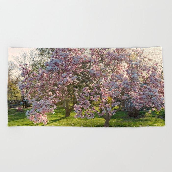 Magnolia tree in spring Beach Towel