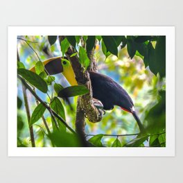Toucan Corcovado National Park, Costa Rica Art Print