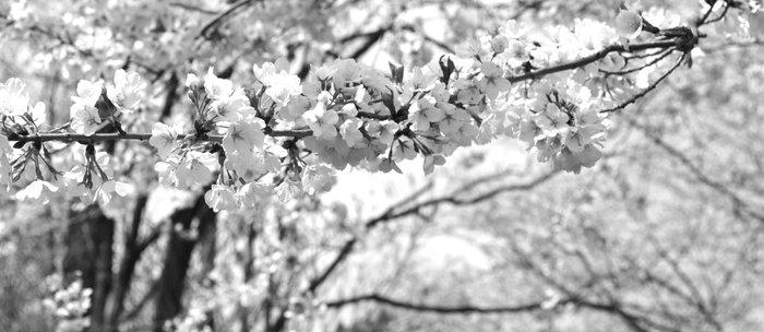 Where The White Blossoms Grow Coffee Mug