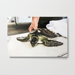 A juvenile green sea turtle is prepared for its release into the waters of the Banana River at NASAs Metal Print