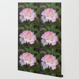 Pink Blush Rose Wallpaper