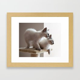 Portrait of two white long hair birman cats with blue eyes. Framed Art Print
