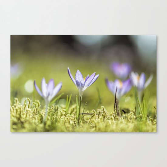 Crocus meadow Canvas Print
