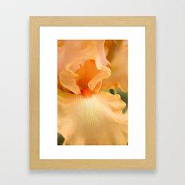 Bearded Iris Orange Harvest Framed Art Print