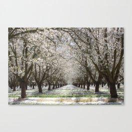 White Cherry Blossom Tree Tunnel Canvas Print